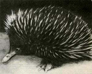 Австралийская ехидна. От тасманийской её отличают более многочисленные и крупные иглы. Она немного меньше тасманийкой, но клюв у неё относительно длиннее.