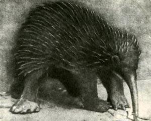 Черноиглая новогвинейская проехидна. В лесах Новой Гвинеи обитают ещё два вида проехидн. Они крупнее ехидн: весят до 10 килограммов, реже - до пуда.